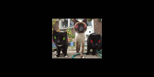Les chats peuvent aussi devenir fous - La DH