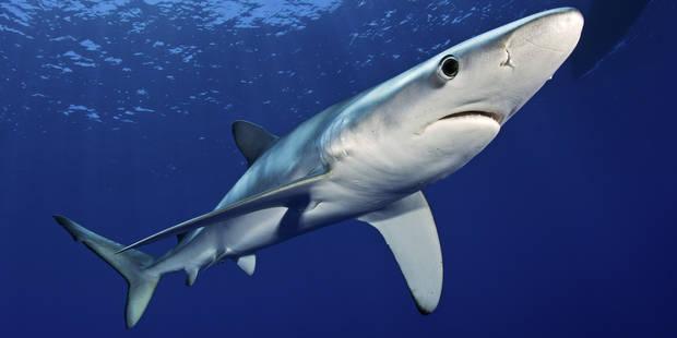 Un Belge attaqué par un requin bleu, fausse alerte ? - La DH