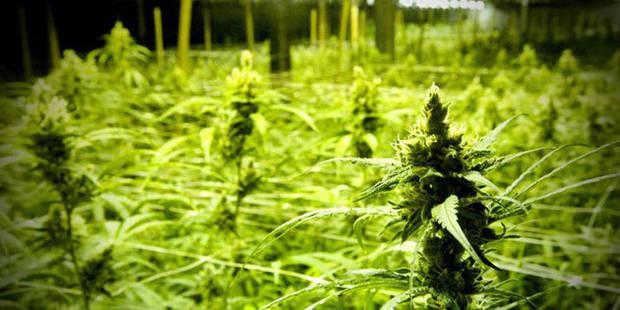 Un trafic de cannabis qui coûte 3 ans ferme - La DH