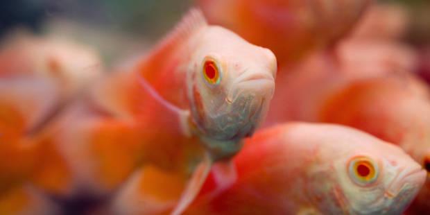 Un Britannique condamné pour avoir avalé un poisson rouge vivant - La DH