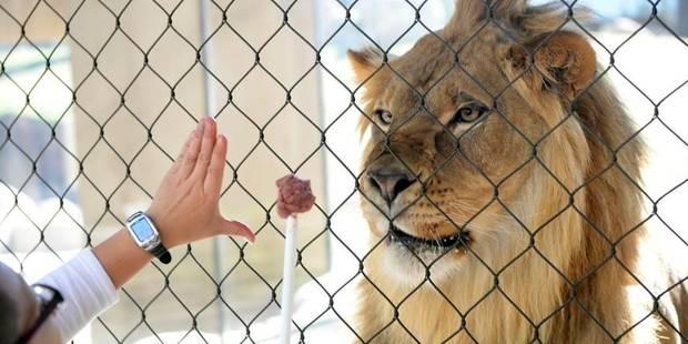 Quatre lions saisis dans un cirque à Fléron - La DH