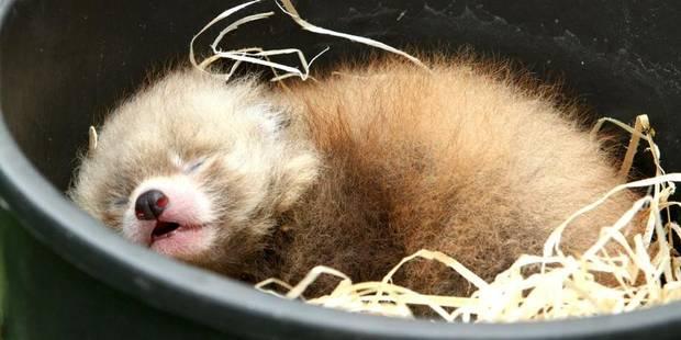 Deux pandas roux sont nés à Planckendael - La DH
