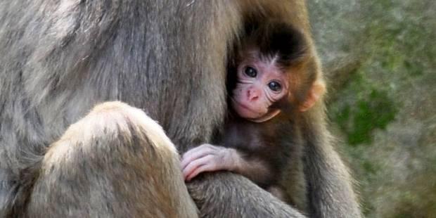 Polémique: Charlotte, un nom de singe? - La DH
