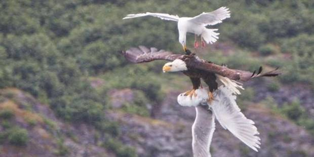 Quand un aigle et deux goélands combattent en plein ciel - La DH