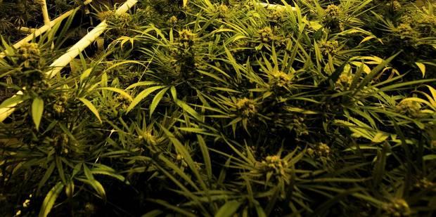 Charleroi: près de 200 kilos de cannabis saisis - La DH