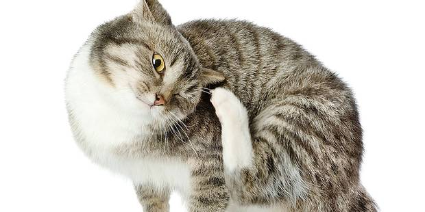 Les produits anti-puces pour chiens tuent les chats - La DH