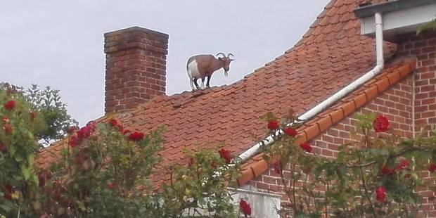 Mais que fait cette chèvre sur le toit d'une habitation à Westvleteren ? - La DH