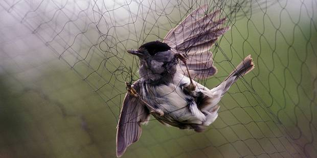 Des milliers d'oiseaux saisis chaque année - La DH
