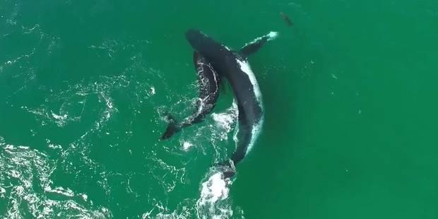 Un dauphin joue avec des baleines (VIDEO) - La DH