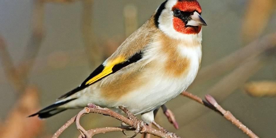 Le trafic d oiseaux en hausse en belgique la dh for Oiseaux des jardins belgique