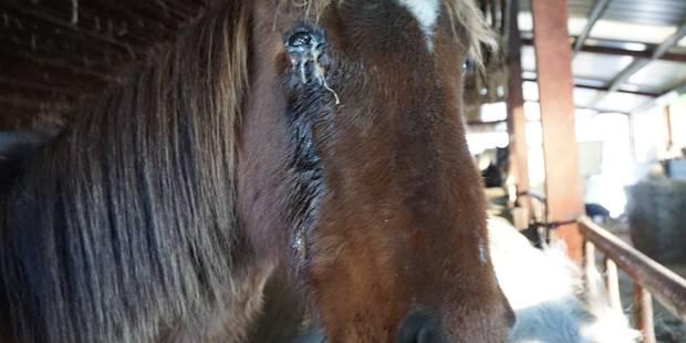 Inquiétudes autour de chevaux maltraités à Flamisoule (VIDEO) - La DH