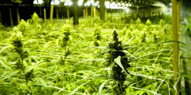 1.800 plants de cannabis découverts à Dalhem ! - La DH