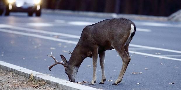 Les accidents avec des cerfs se multiplient au printemps - La DH