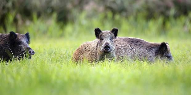 La chasse aux sangliers facilitée en Wallonie - La DH