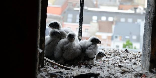 Ath: Des faucons productifs ! - La DH