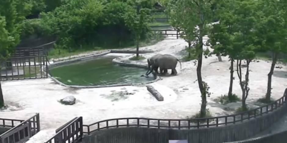Deux éléphants sauvent un petit de la noyade