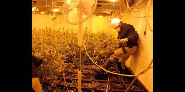 1160 plants de cannabis - La DH