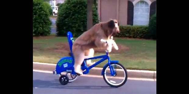 Un chien apprend à rouler à vélo - La DH