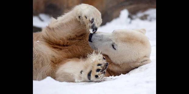 Un mémorial pour Knut, l'ours polaire - La DH