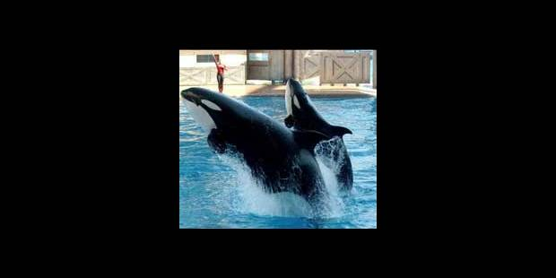 USA: une orque tue sa dresseuse en plein spectacle