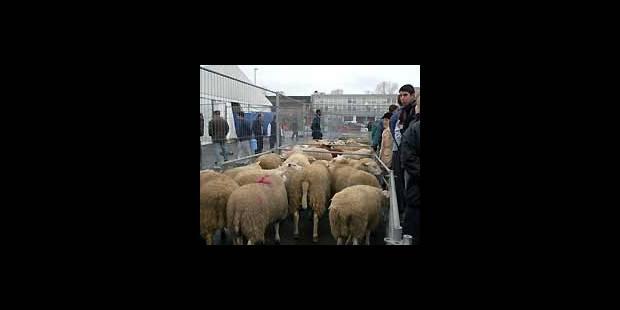 Les chiffres belges des abattages rituels - La DH