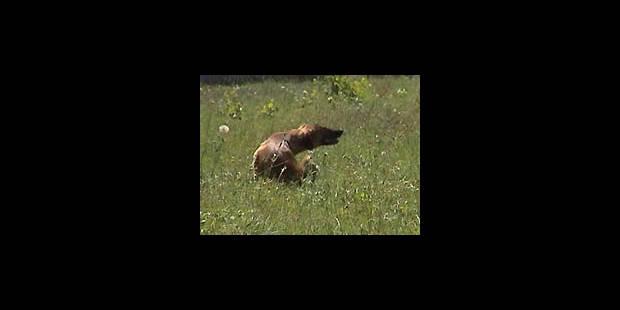 Rage: vigilance pour les Belges et leurs animaux - La DH