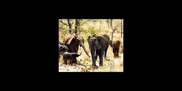 Plus d'ivoire que d'éléphants - La DH