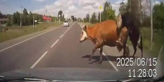 Il percute une vache et un taureau... en plein ébat - La DH