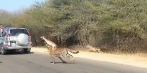 Une antilope sauve sa peau en sautant dans une voiture - La DH
