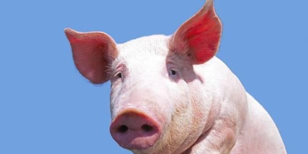 À Ploegsteert, les cochons seront bilingues - La DH