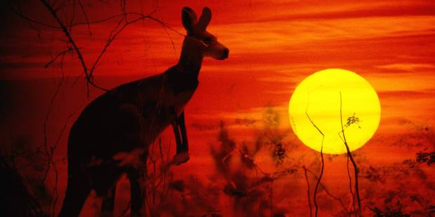 Un Australien de 7 ans sauvé par un kangourou - La DH