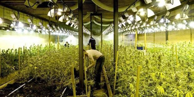 Le Cannabis Une Culture En Plein Essor  La Dh