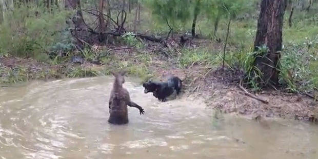 un kangourou essaye de noyer united nations chien