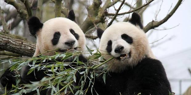 """Affaire des pandas: """"Les pandas sont chinois, pas wallons ou flamands"""" - La DH"""
