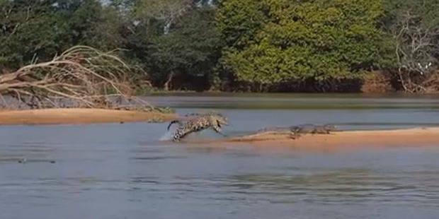 Un croco croqué par un jaguar!