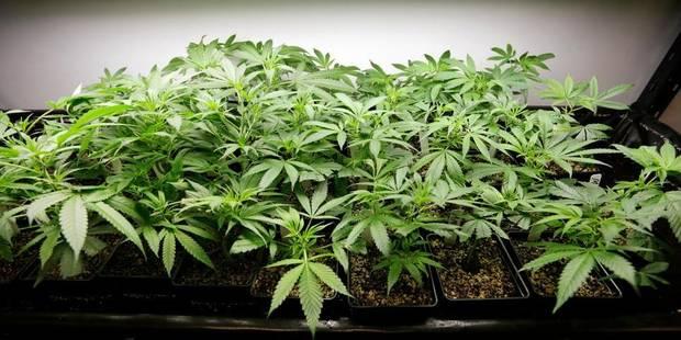 Le cannabis effraie les médecins - La DH