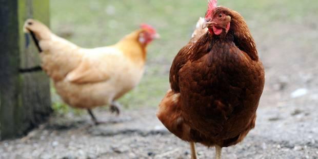 Un accident de camion coûte la vie à 2.500 poulets à Essen - La DH