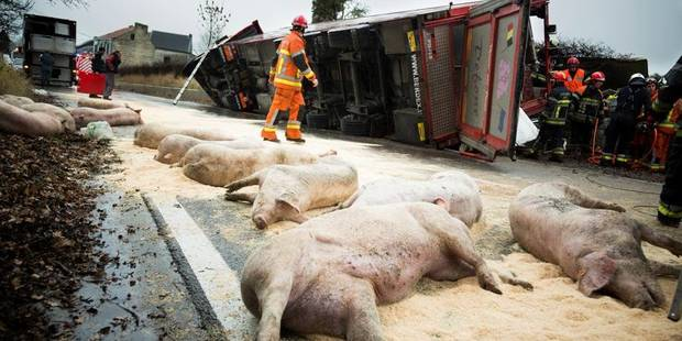 Un camion transportant des cochons accident� dans la r�gion de Li�ge