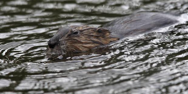 Des rats musqués à l'origine de la fuite dans l'ancien Canal du Centre - La DH