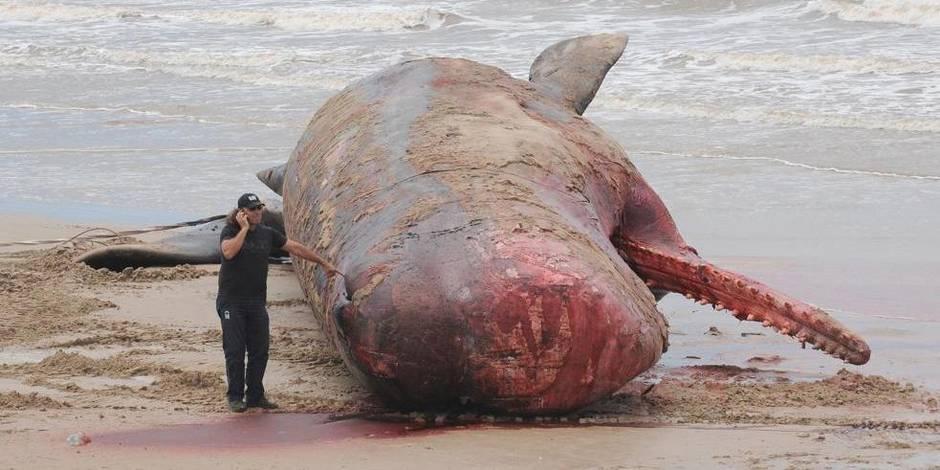 Un cachalot de plus de 16 mètres trouvé mort près d'une plage à Montevideo