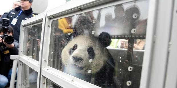 Comment reconnaître les pandas Hao Hao et Xing Hui ? - La DH