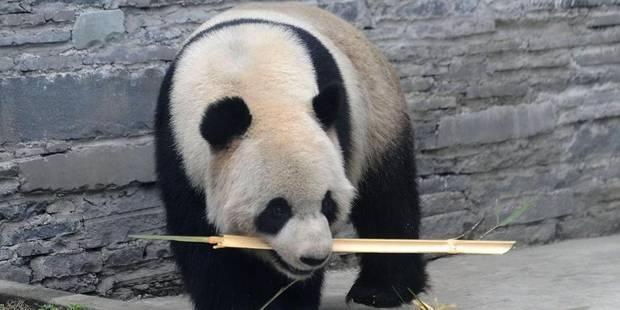La première vidéo des pandas de Pairi Daiza dans leur grotte - La DH