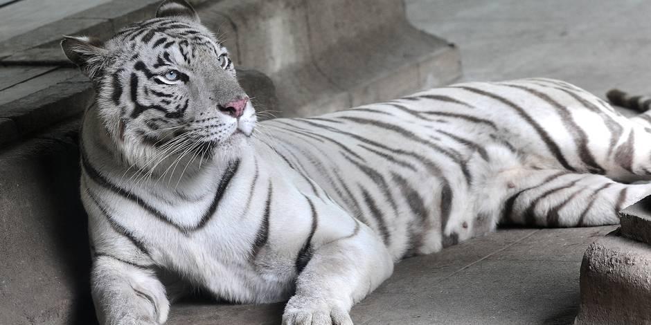 Deux tigres blancs sont arrivés à Pairi Daiza