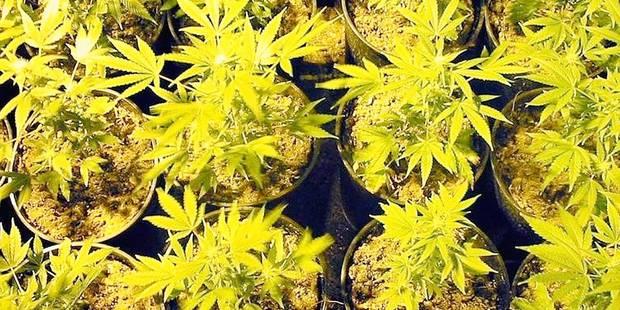 1.500 plants de cannabis dans le hangar