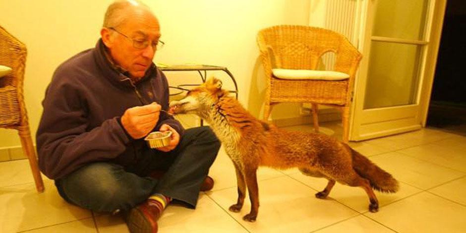 Des Bruxellois apprivoisent les renards