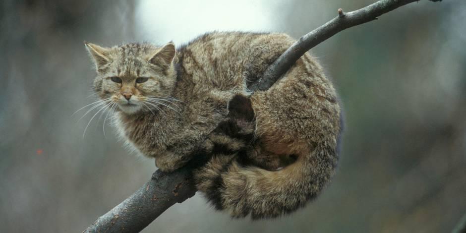 Le tigre qui terrorise Paris serait... un gros chat