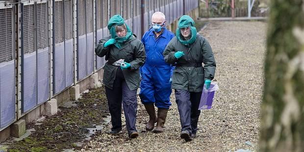 La grippe aviaire aux portes de la Belgique - La DH