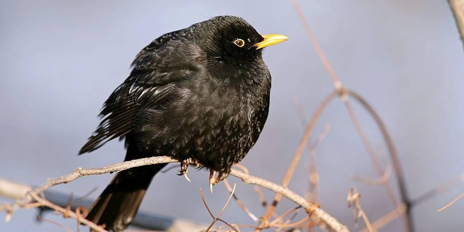 Bientôt plus que 10 espèces d'oiseaux dans nos jardins ? - La DH