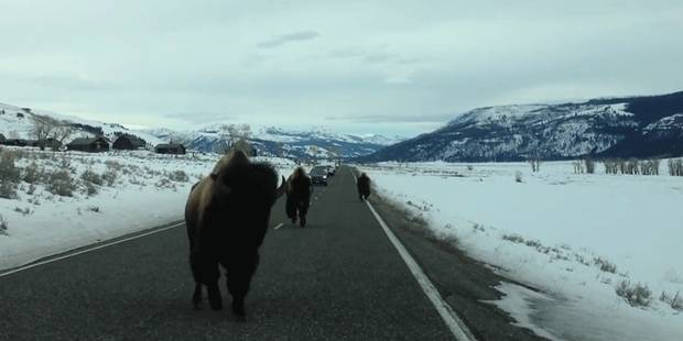 Un bison fonce sur leur voiture - La DH