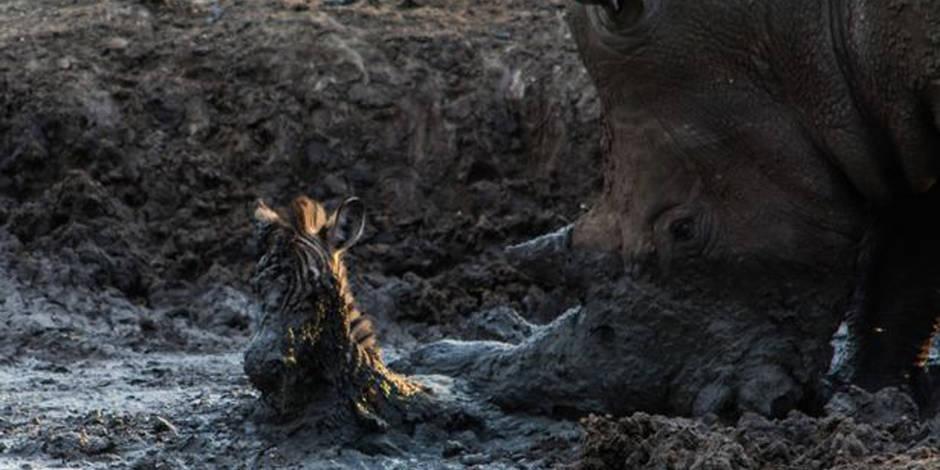 Un rhinocéros sauve un zébrion... avant de l'éventrer mortellement !